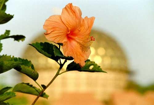 Цветок Ауровиля